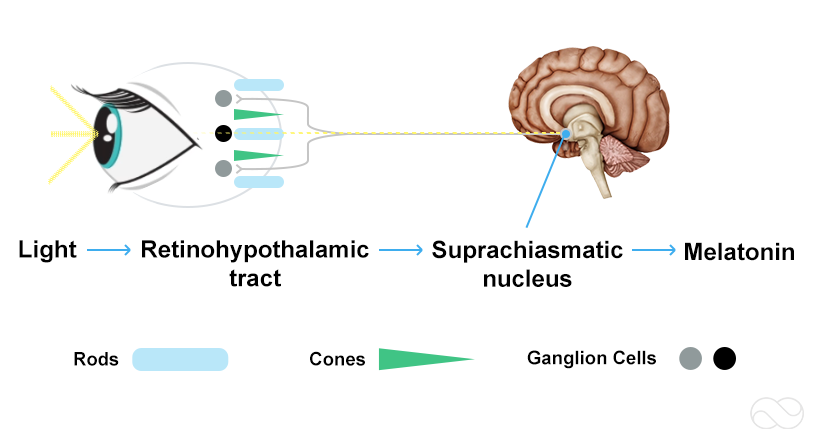 Diagram of how light passes through the eye to the Suprachiasmatic nucleus in the brain to set the body's circadian rhythm
